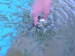 Hands Callus Remover--Garra Rufa Fish Massage