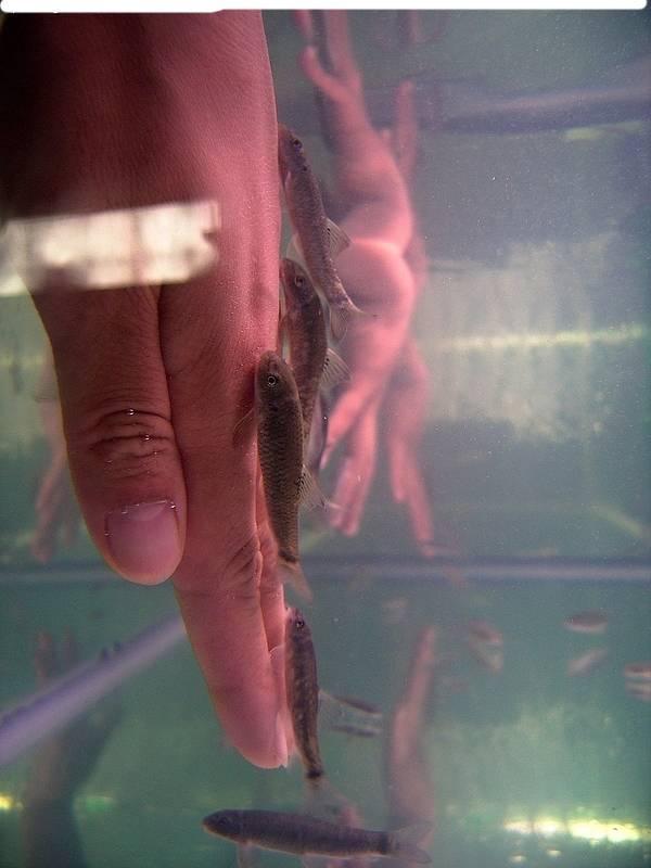 Garra Rufa Fish Doctor Fish