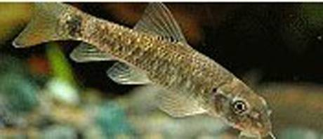 Turkey Garra Rufa Fish
