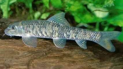 Genuine Turkey Garra Rufa Fish