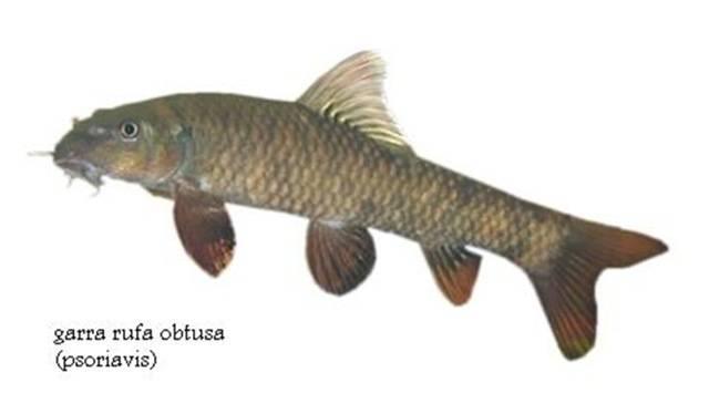 Garra Rufa  Doctor Fish