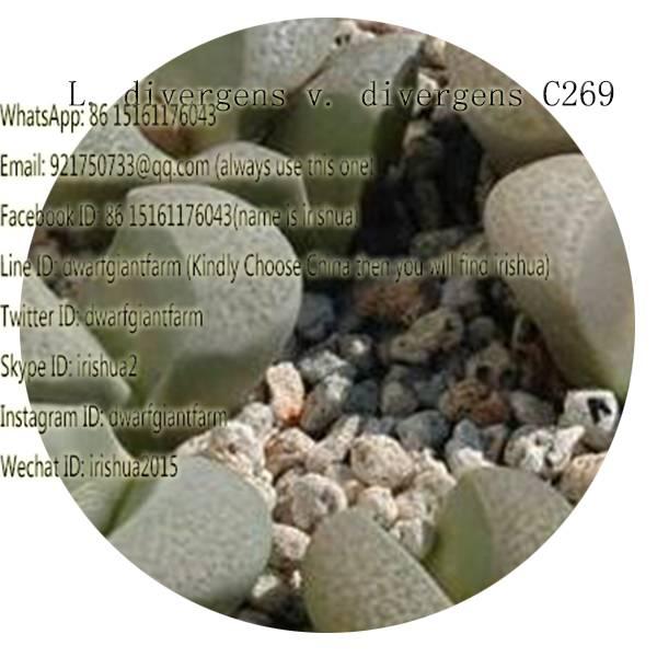 50pcs a set L. divergens v. divergens C269 seed 25usd