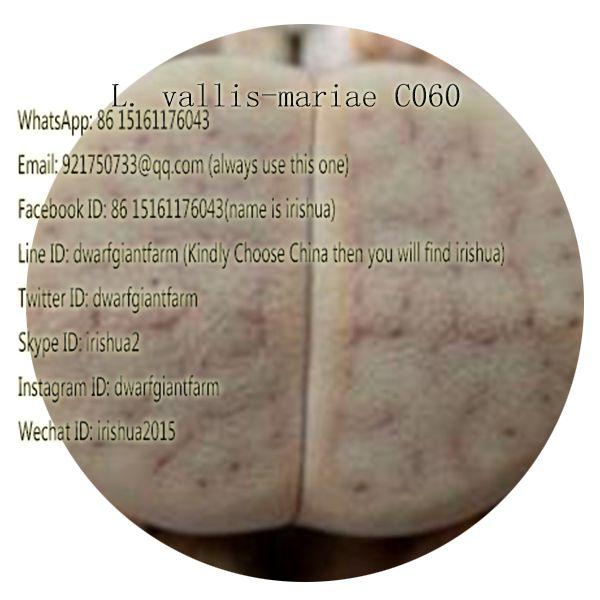 50pcs a set L. vallis-mariae C060 seed 25usd