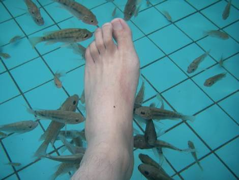 Original Doctor Fish---Turkey Garra rufa Fish
