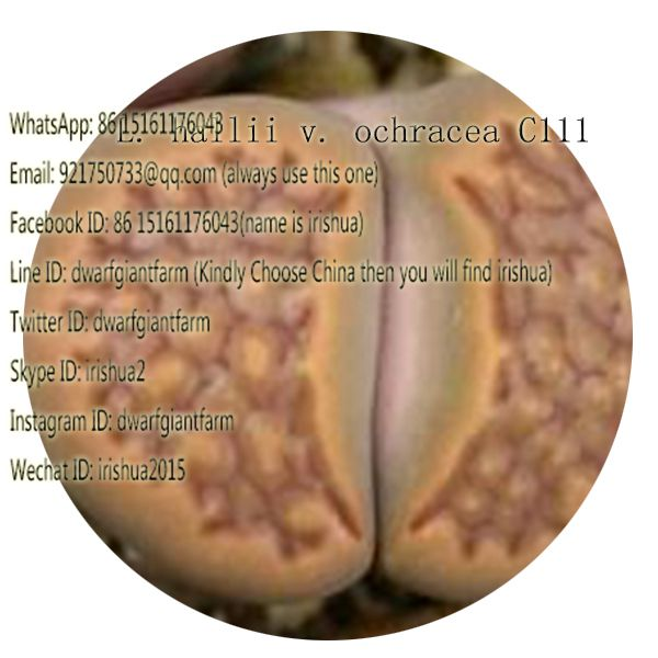50pcs a set L. hallii v. ochracea C111 seed 25usd
