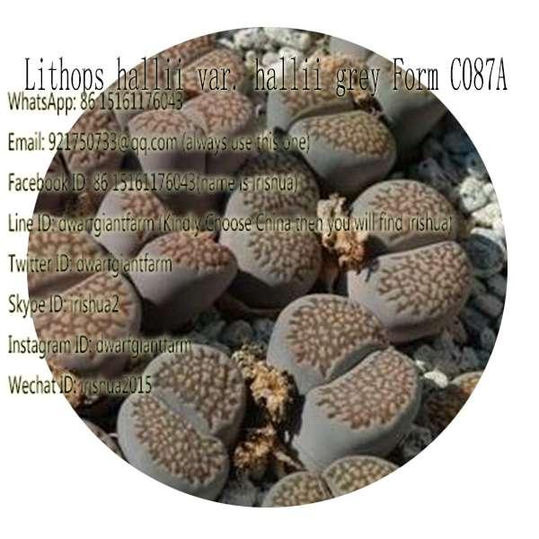 50pcs a set Lithops hallii var. hallii grey Form C087A seed 25usd