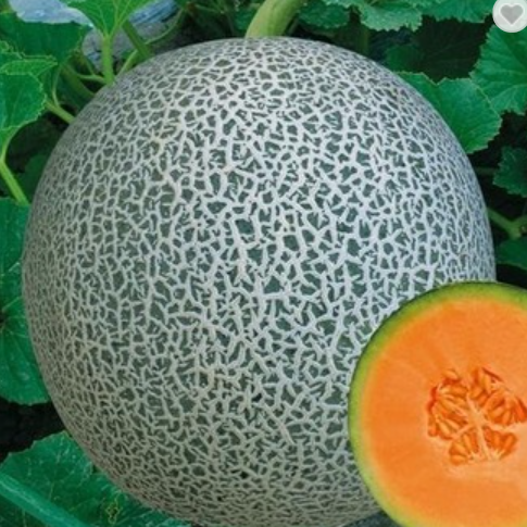 Green net hami melon hybrid seeds