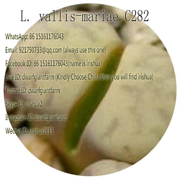 50pcs a set L. vallis-mariae C282 seed 25usd