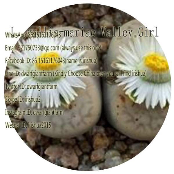 50pcs a set L. vallis-mariae Valley Girl seed 25usd