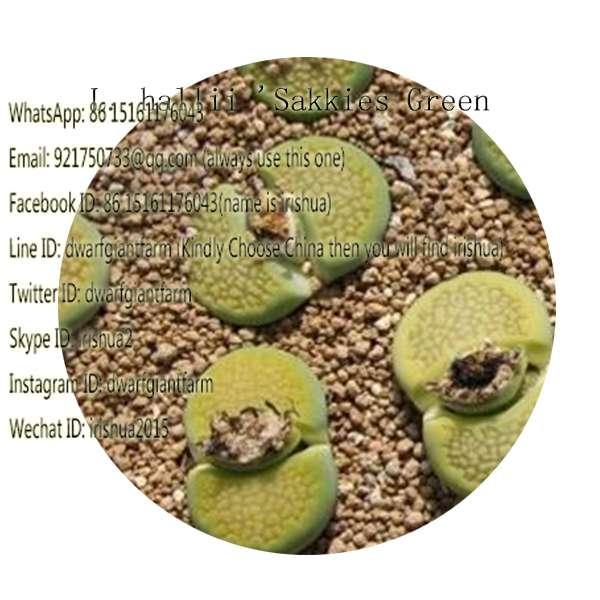50pcs a set L. hallii 'Sakkies Green seed