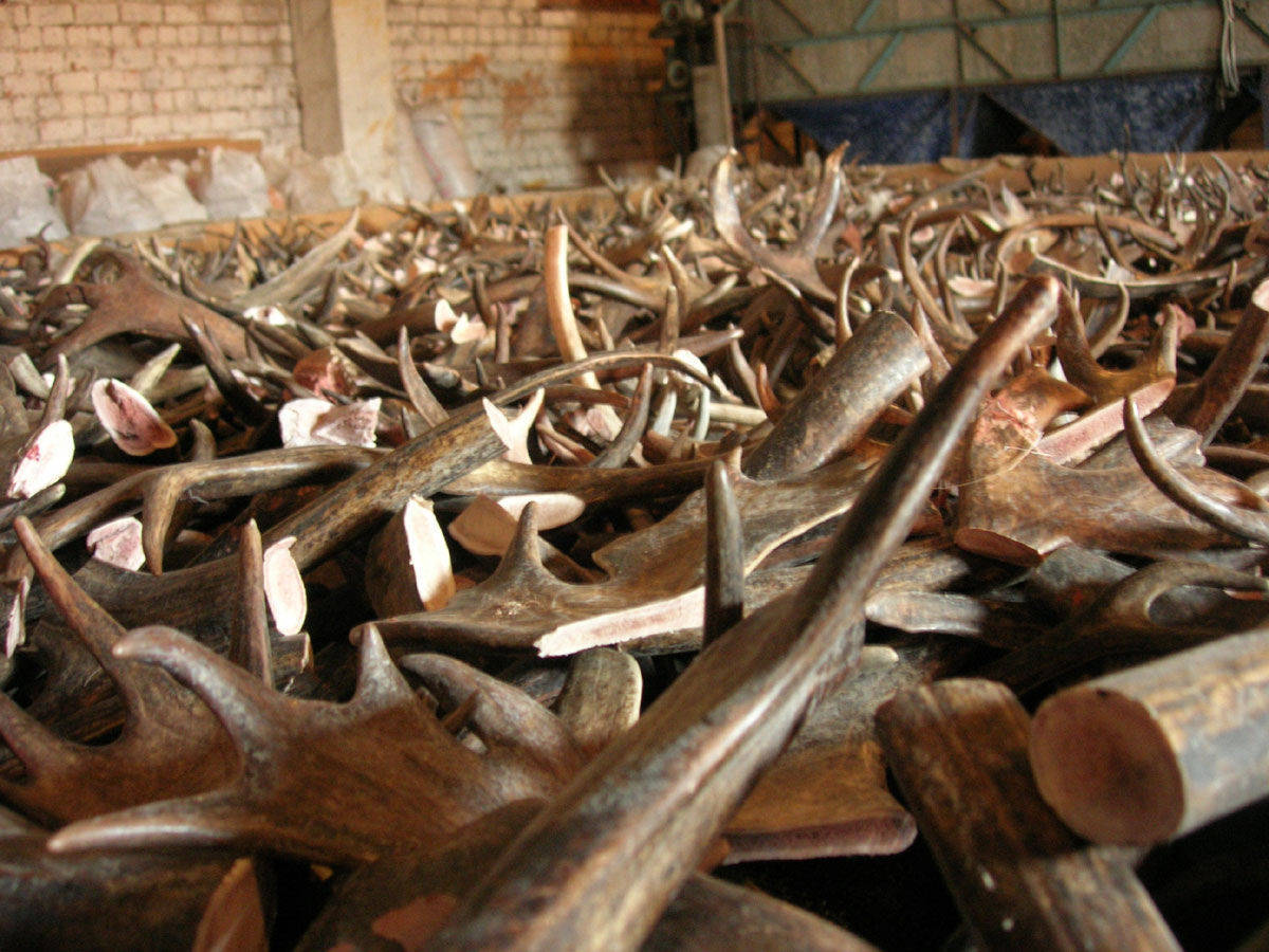 Deer antlers transporting Ltd Main Image