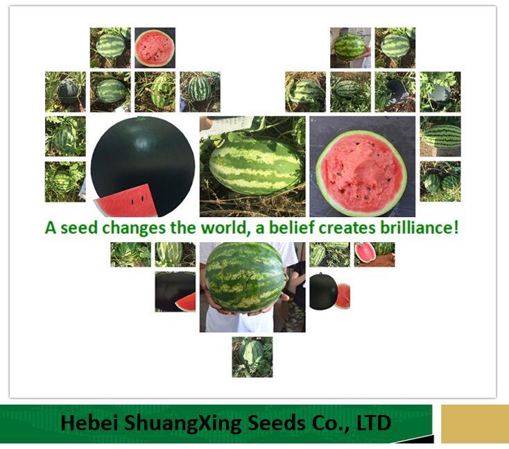 Hebei Shuangxing Seeds Co., Ltd Main Image