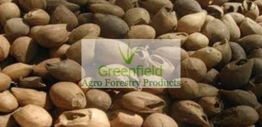 Khamer (gmalina arboria) seeds