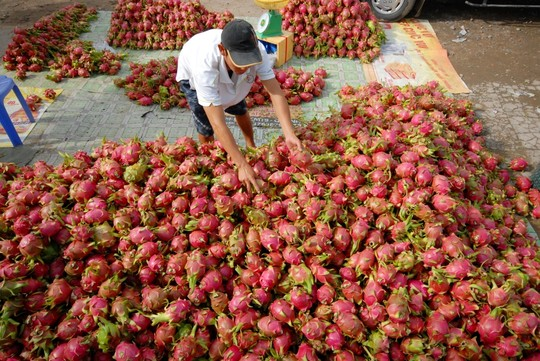 FRESH DRAGON FRUIT- TOP SUPPLIER- HIGH SPECIFICATION - EMAIL: SALES4 AT VINARICE DOT VN