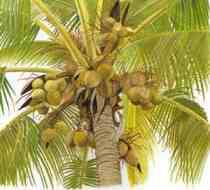 Crude & Refined Coconut Oil