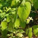 Epimedium Leaf (sales2/at/lgberry/com/cn)