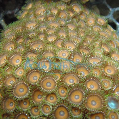 Zoanthids coral - Assorted