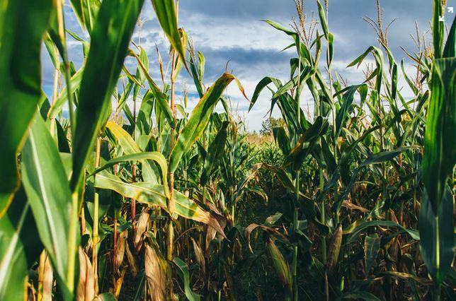 white/yellow/animal corn