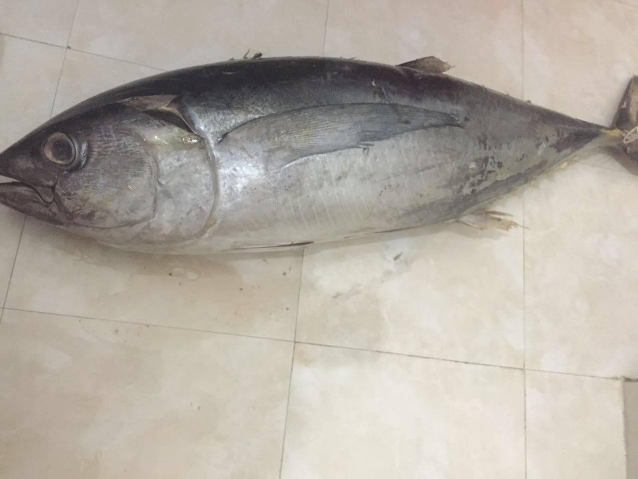 Frozen Yellow Fin Tuna