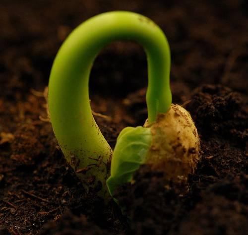 Jatropha seeds /Jatropha seeds for High germination