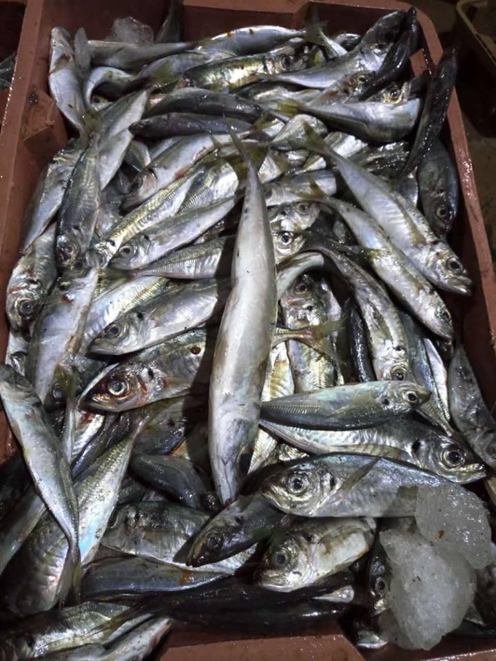 Carapau horse Mackerel,Pacific Mackerel,Atlantic mackerel