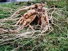 Selling Ginseng Extract