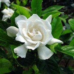 Cape Jasmine Fruit P.E