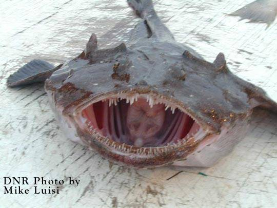 Sell Monkfish