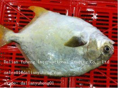 FROZEN GOLDEN POMPANO FISH