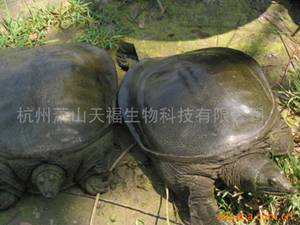 Soft-Shelled Turtles