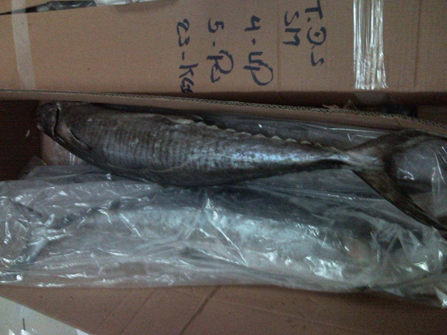 Frozen Spanish Mackerel ( King Fish)