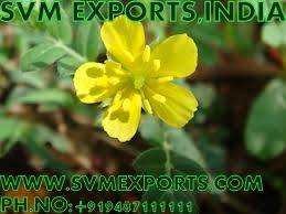 Tribulus Terrestris Exporters India