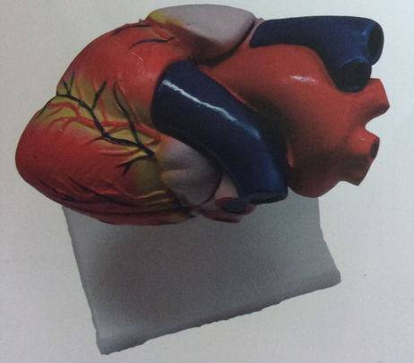 Factory Life-size Human Anatomy Plastic Heart Model
