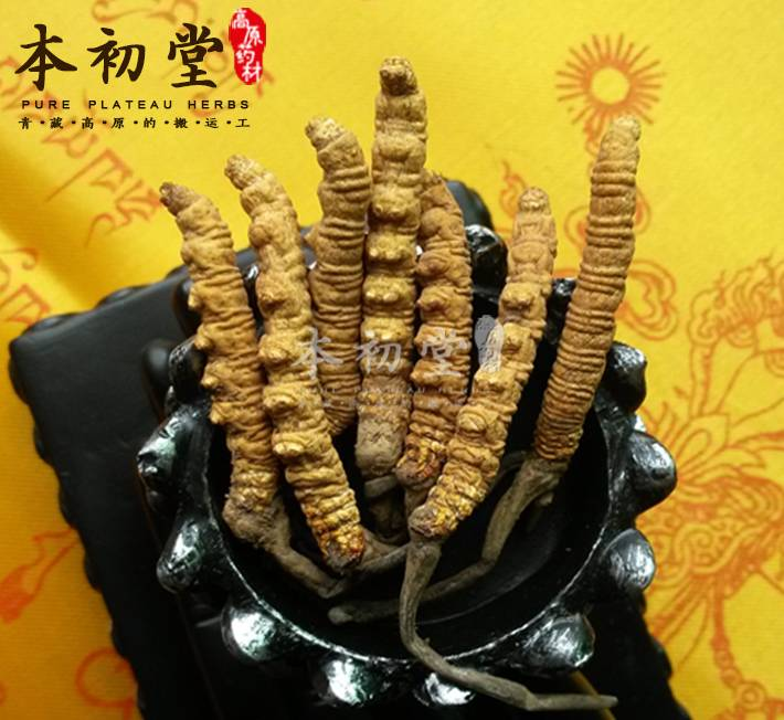 Cordyceps sinensis /Chinese caterpillar fungus /winterworm summerherb from Yushu of Qinghai province