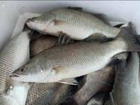 Frozen Fresh Barramundi Fish New Items in China Market