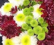 Chrysanthemum for exporting