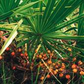 10%- 80% Natural Saw Palmetto Extract