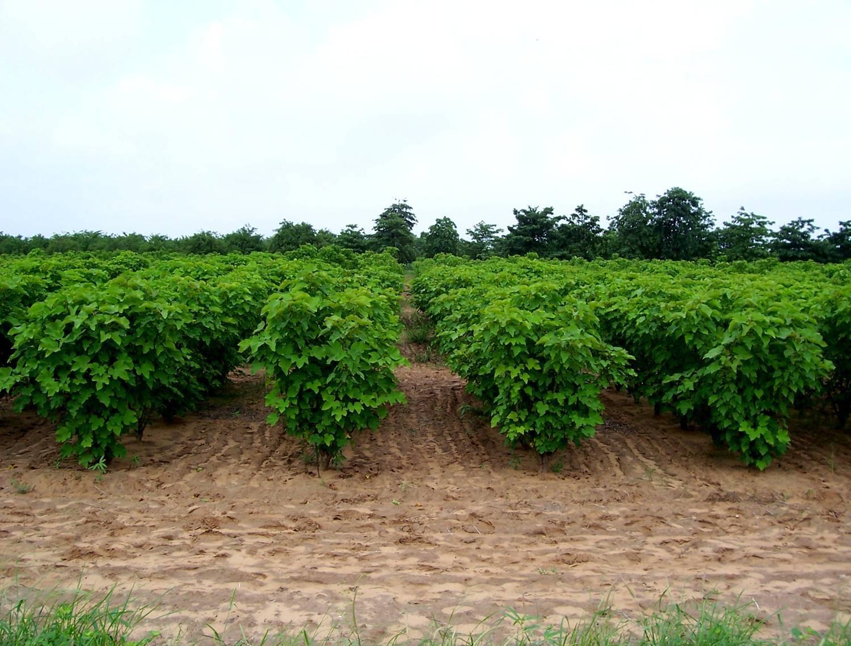 High yield Jatropha seeds/Jatropha seeds