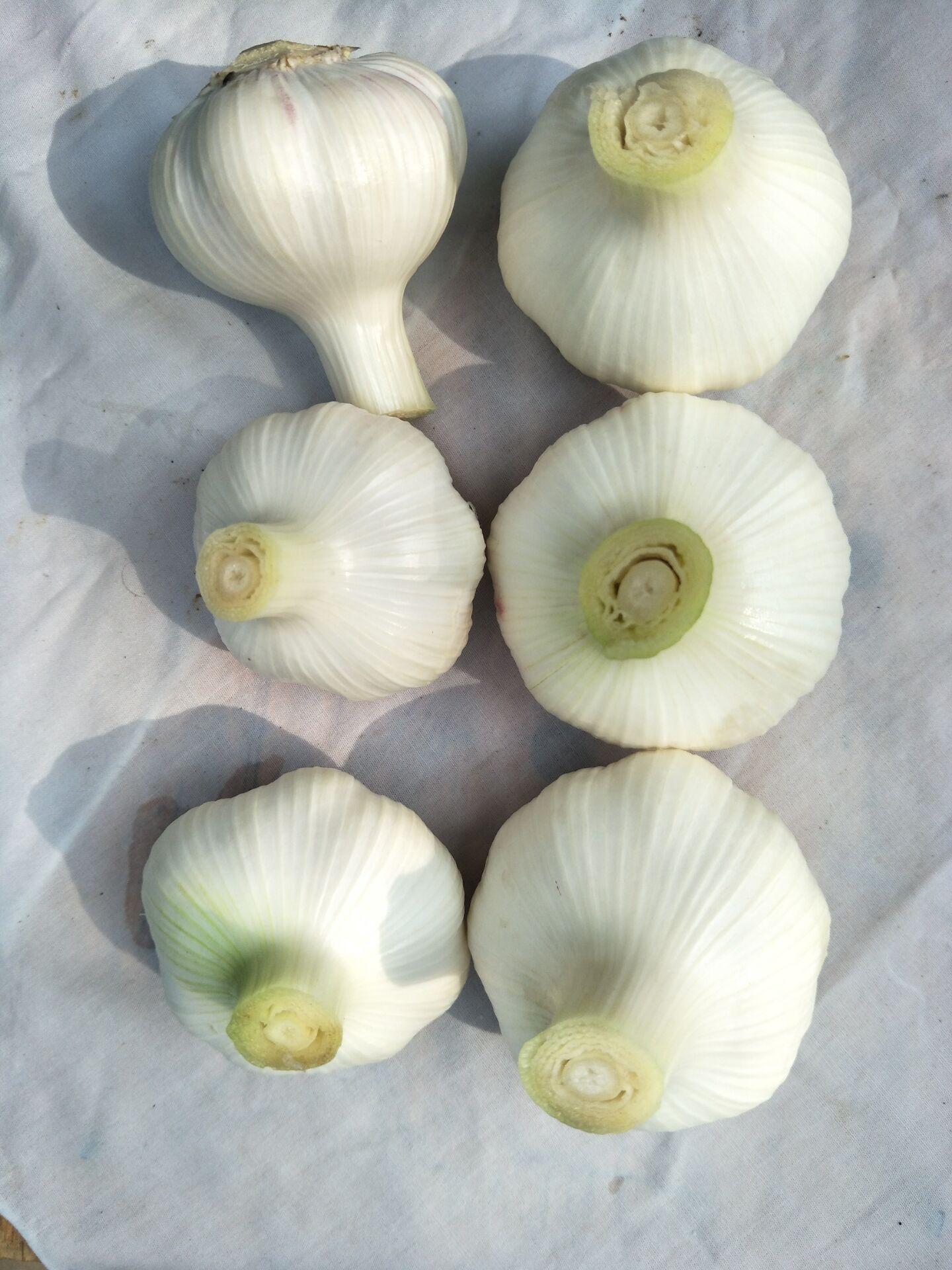 export fresh garlics, gingers
