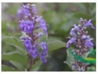 Botanical Extracts(moiturizing)