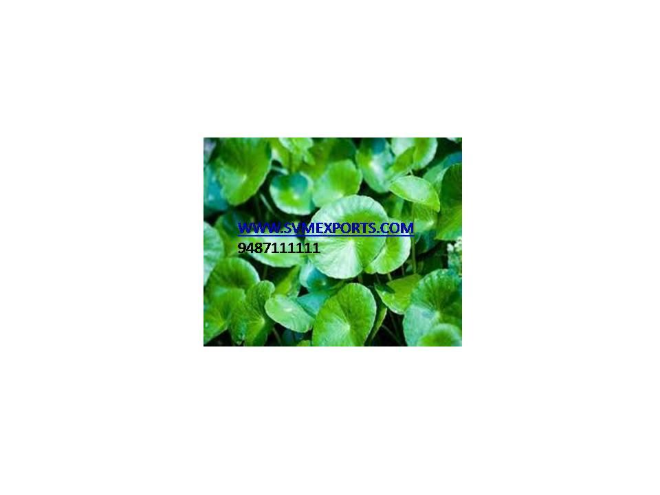 Centella Asiatica Exporters India