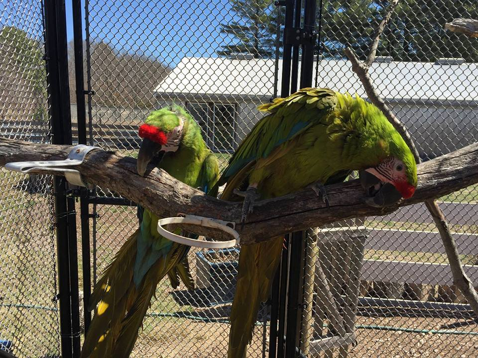 Macaw and African Grey Parrots with certification