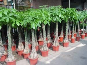 Sell Pachira macrocarpa