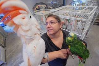 Parrots, Quail, Oracle, Cockatoo and Eggs for sale
