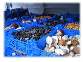 sell fresh,frozen,dried mushrooms,wild berries best prices high quality,gourmet taste and flavour.