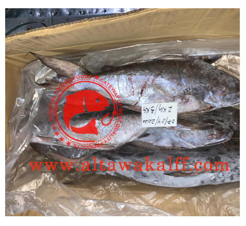 FROZEN CAT FISH WHOLE