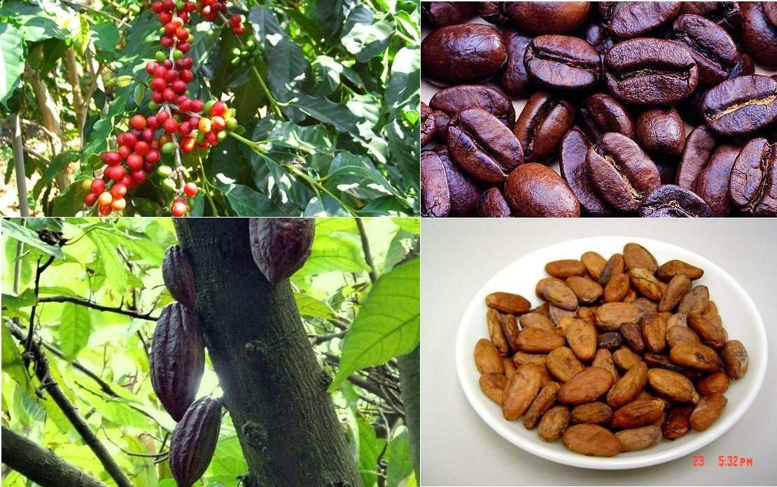 100% nutural cocoa extract powder with theobromine