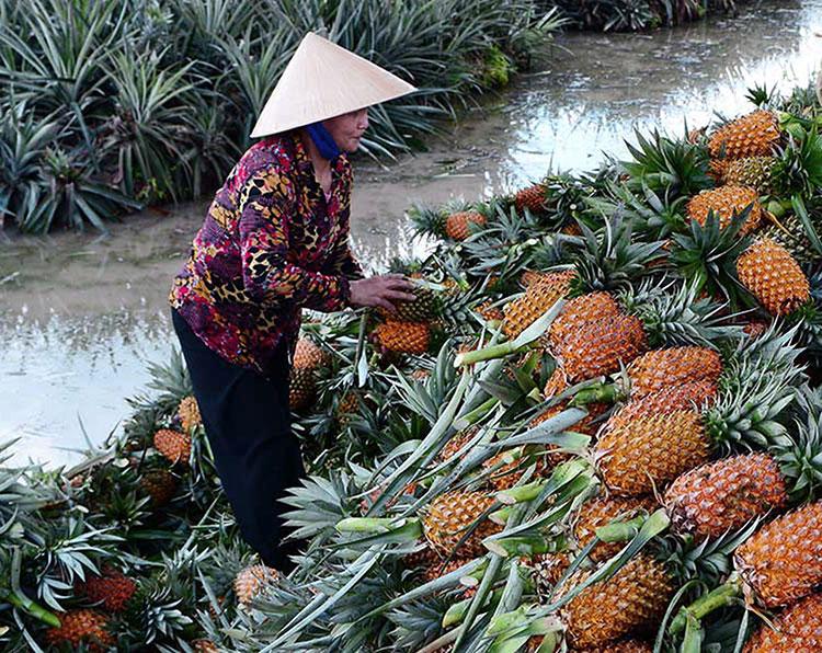 Fresh Pineapple-Best taste, Best Price