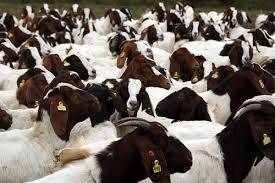 Boer goats, Sheep, Horse, Cow