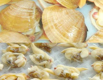 surf clam meat